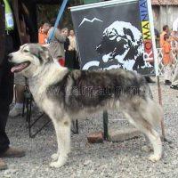 Ciobănescul Românesc Carpatin, câinele naţional (II)